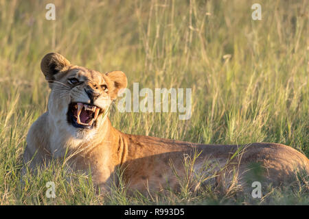 Snarling Lioness (Panthera leo) in Botswana, Africa - Stock Photo