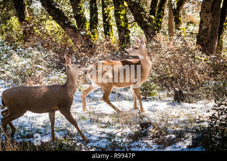 Two Black tailed deer in the forests on the top of Mt Hamilton on a rare winter day with snow, San Jose, south San Francisco bay area, California - Stock Photo