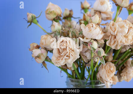 Dried Withered White Roses. Close up. - Stock Photo