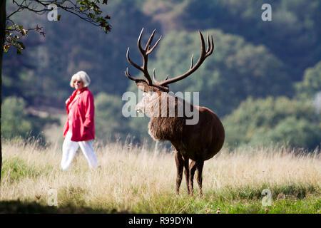 Red Deer, Cervus elaphus, watching woman walk in the background, UK - Stock Photo