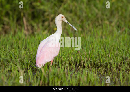 Roseate Spoonbill (Platalea ajaja) foraging for food. Caño Negro Wildlife Refuge. Alajuela province. Costa Rica. - Stock Photo