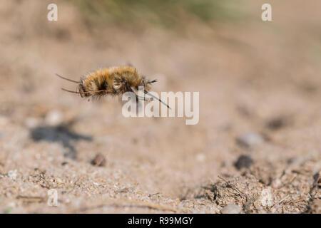 Grosser Wollschweber, Bombylius major, Large Bee Fly - Stock Photo
