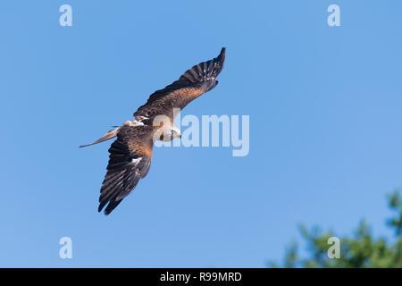 Rotmilan im Flug, Milvus milvus, Red Kite flying - Stock Photo