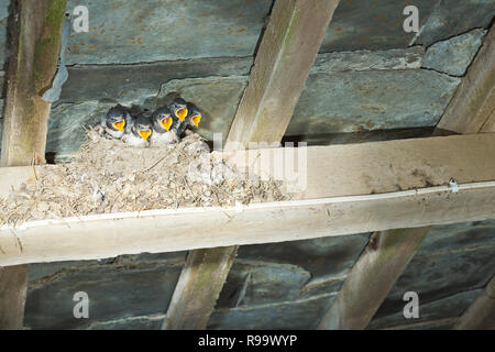 A nest full of baby swallows with their beaks wide open - Stock Photo