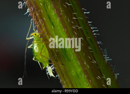 Common Nettle Aphid Microlophium carnosum giving birth - Stock Photo