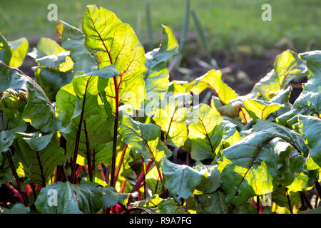 Beet leaves in the rays of the setting sun on the garden - Stock Photo