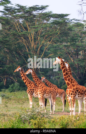 Few giraffe in Nakuru park. Nakuru, Kenya - Stock Photo