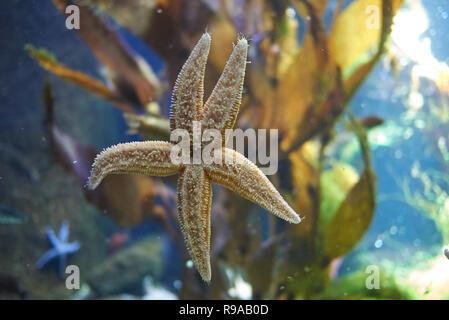 Copenhagen, Denmark - October 11, 2018 : View of a starfish - Stock Photo