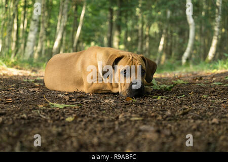 10 months young boerboel or South African Mastiff pup lying down with his head on the floor seen from the front in a forrest setting - Stock Photo