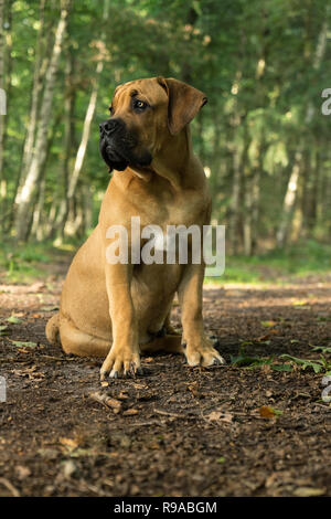 10 months young boerboel or South African Mastiff pup seen from the front sitting facing left in a forrest setting - Stock Photo