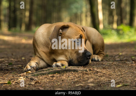 10 months young boerboel or South African Mastiff pup lying down with his head on the floor seen from the front facing right in a forrest setting - Stock Photo