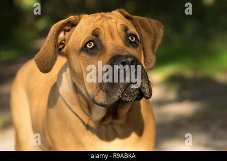 10 months young boerboel or South African Mastiff pup seen from the front close up in a forrest setting - Stock Photo