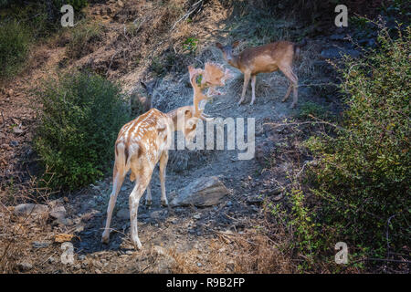 Nature scene with fallow deer family standing on rocky slope. White spotted stag with big beautiful horns protects female and baby deer, also called f - Stock Photo