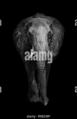Close up of an African elephant (Loxodonta africana) in black and white. - Stock Photo