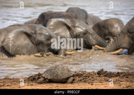 Leopard (mountain) tortoise (Stigmochelys pardalis), Addo elephant national park, Eastern Cape, South Africa - Stock Photo