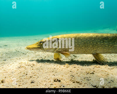 Northern pike moving petroral fins close to bottom in a clear-watered lake. Underwater close-up shot. - Stock Photo