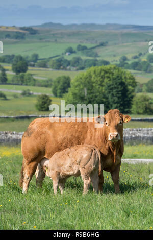 Herd of Limousin beef cattle with calves grazing on upland pasture in the Forest of Bowland, Lancashire, UK. - Stock Photo