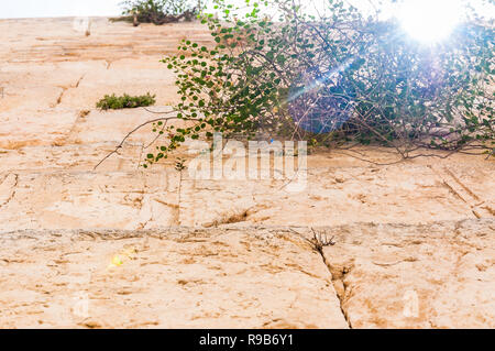 Sun rays penetrating through the blooming Capparis flowering plant growing straight from the ancient holy stones of the Western Wall in Jerusalem, Isr - Stock Photo