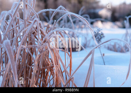 Golden grass with frost on winter morning - Stock Photo