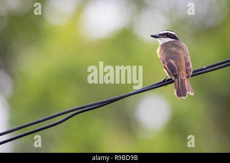 Great Kiskadee (Pitangus sulphuratus) perched on wire. Caño Negro Wildlife Refuge. Alajuela province. Costa Rica. - Stock Photo