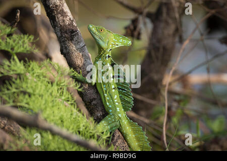 Green Basilisk (Basiliscus plumifrons) perched on branch. Caño Negro Wildlife Refuge. Alajuela province. Costa Rica. - Stock Photo