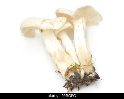White domecap mushroom Lyophyllum connatum - Stock Photo