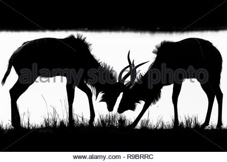 Greater kudu (Tragelaphus strepsiceros) young males sparring, Chobe national park, Botswana - Stock Photo