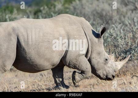 Southern white rhinoceros (Ceratotherium simum simum) running in Namibia, Africa. Considered as Near Threatened. - Stock Photo