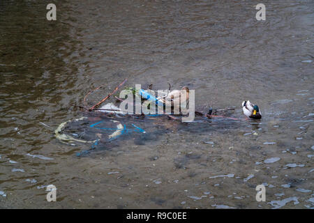 Two ducks (Drake Mallard) sitting on an abandoned bicycle in a river on a sunny day - Stock Photo