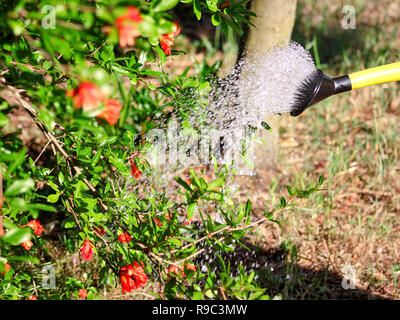 Watering flowers in the garden with a yellow watering can. Close up on water pouring from watering, garden work pour water. Pouring from watering can. Stock Photo