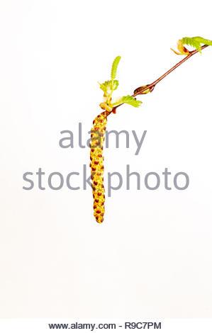 Junger Trieb eines Birkenbaumes. Diese Pflanze ist ein Frühblüher. - Stock Photo