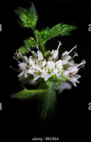 White mint flowers and leaves on a black background, soft focus, close-up - Stock Photo
