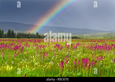 42,894.03590 rainbow in sun filled 5,015' prairie, violet Elephant's head, yellow Cusick's Paintbrush, white Western bistort wildflowers, Oregon USA - Stock Photo