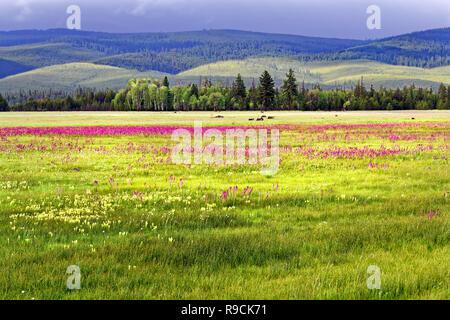 42,894.03591 sunny 5,000' high prairie, violet Elephant's head, yellow Cusick's Paintbrush, white Western bistort flowers, bkgr rolling hills, Oregon - Stock Photo