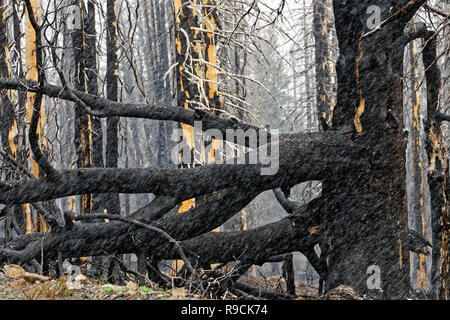 42,895.03613 close up black remains of conifer pine trees forest fire, standing dead blackened by massive hot searing forest fire, Oregon USA - Stock Photo
