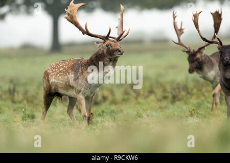 Fallow Deer; Dama dama Three; Bucks Rutting;  London; UK - Stock Photo