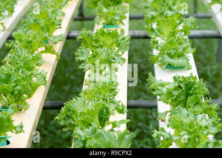 Lettuce growing in Organic hydroponic vegetable farm Greenhouse - Stock Photo