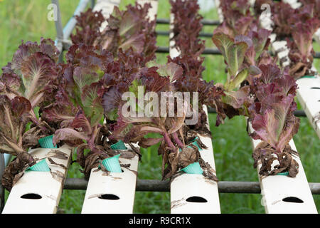 Close-up red oak Organic with white tray hydroponics Vegetable Farm growing in greenhouse for health market