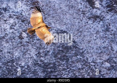 Himalayan vulture or Himalayan griffon vulture in flight in the Manaslu region of the Nepal Himalayas - Stock Photo
