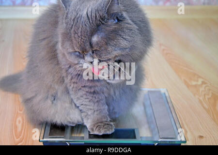 The  hungry gray big long-haired fluffy fat British cat sits on scales and licks a paw. Against the background of a wooden floor in the house. Concept - Stock Photo