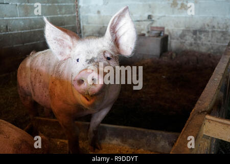 A young pig in the stable waiting for food to eat - Stock Photo