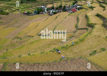 Farmers harvesting at Batad Rice Terraces, Ifugao Province, Cordillera Region, Luzon, Philippines, Asia, South Asia, UNESCO World Heritage - Stock Photo