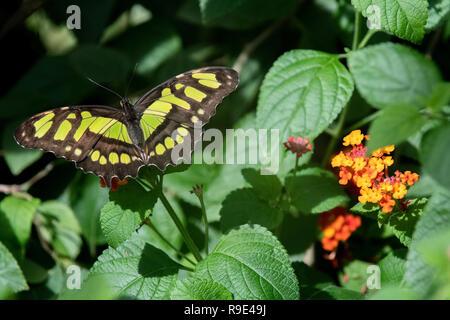 Malachite Butterfly - Siproeta stelenes butterfly - a Malachite Butterfly rests on African butterfly weed flowers in a butterfly exhibit in Aruba - Stock Photo