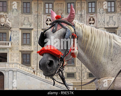portrait of white horse decorated with pink earpieces and red nose band standing in Piazza dei Cavalieri for sightseeing carriage tours of Pisa, Italy - Stock Photo