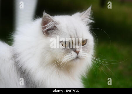 This beautiful photo shows the face of a gray Chinchilla Persian cat in close-up. This picture was taken in Thailand - Stock Photo