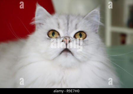 This beautiful photo shows a gray Chinchilla Persian cat lying and looking upwards. This picture was taken in Thailand - Stock Photo