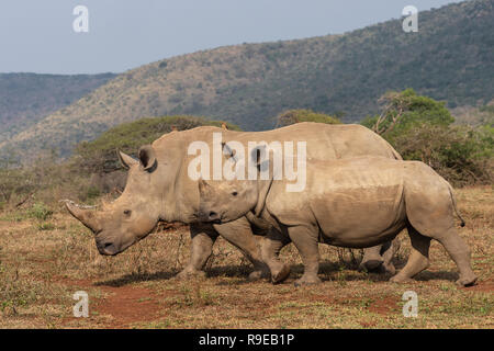 White rhinos (Ceratotherium simum), iMfolozi game reserve, KwaZulu-Natal, South Africa, - Stock Photo
