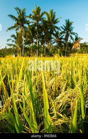 Tropicla palms and fresh golden rice fields before harvest near Ubud, Bali - Stock Photo