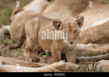 cute baby lion cub standing between sleeping lionesses in grass