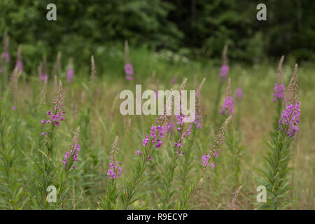 Pink flowers of fireweed in bloom ivan tea. - Stock Photo